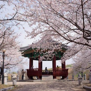 Cherry Blossom in Seoul !