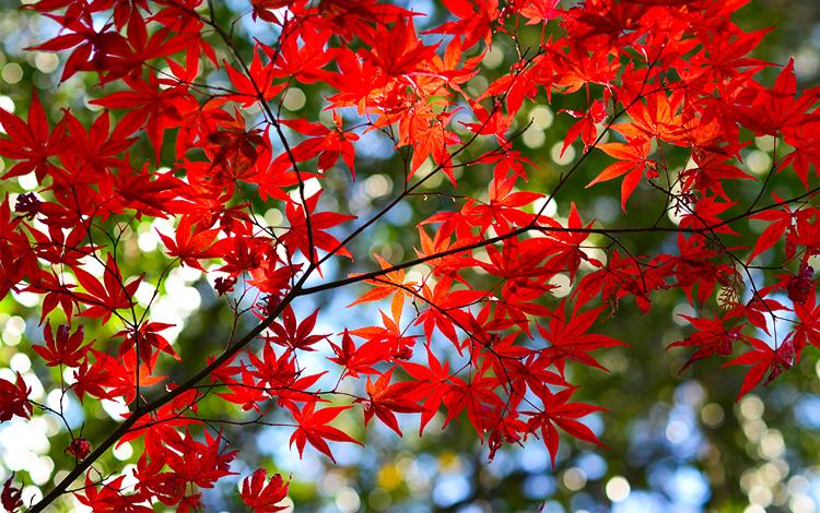 ใบไม้เปลี่ยนสี, โอวันดา, หนานโถว, ไต้หวัน