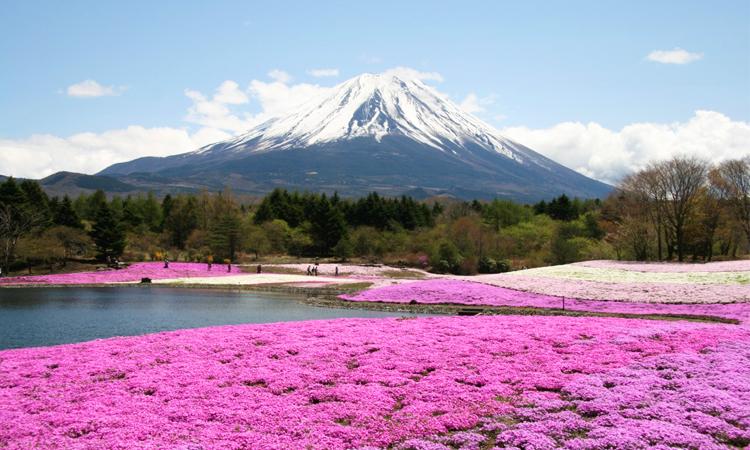 ดอกชิบะซากุระ