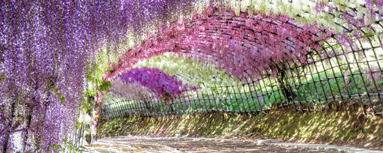 จุดชมชมดอกวิสทีเรีย, สวนคาวะชิ ฟูจิ, ฟุกุโอกะ