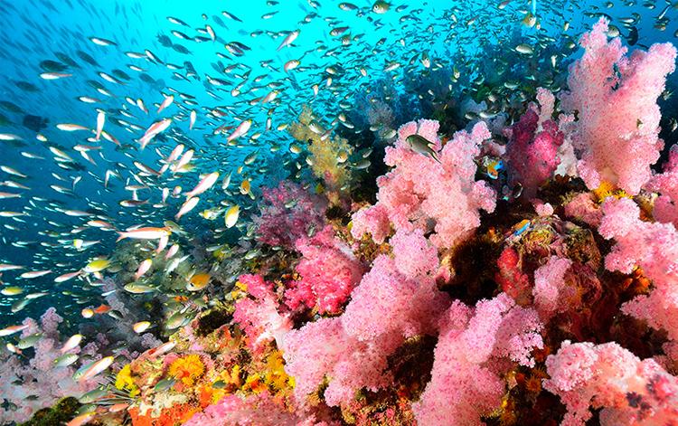 ดำน้ำสิมิลัน, ปะการังอ่อน